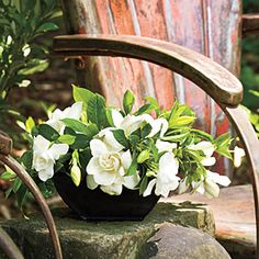 My most favorite flower is the gardenia. I love the scent and how it looks when you wear it in your hair.