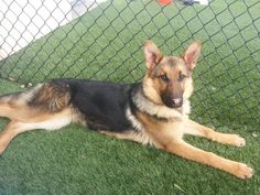 Meet Elsa, a Petfinder adoptable German Shepherd Dog Dog | Saint Louis, MO | Elsa is a purebred German shepherd and just 6 months old. She came to us from a show dog breeder...
