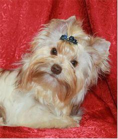 Biro Yorkshire Terrier