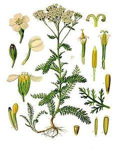 L'herbière: Plantes médicinales utilisées au Québec