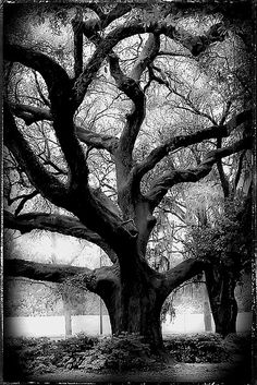 Live Oak Society (LOS) This oak is also the National Champion on the National Register of Big Trees.  The Society was founded in 1934 by Dr. Edwin Lewis Stephens, the first president of Southwestern Louisiana Institute (now the University of Louisiana in Lafayette). The Society promotes the culture, distribution, preservation and appreciation of the live oak tree, scientifically known as Quercus Virginiana. Nellie Vin. Black and White.