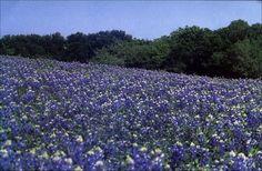 I ♥ Texas Bluebonnets!