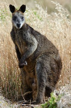♥ Black-flanked Rock  Wallaby ~ Petrogale lateralis