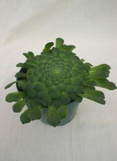 Aeonium tabuliforme - Succulent Gardens