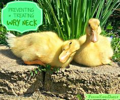 Preventing and Treating Wry Neck in Chicks and Ducklings