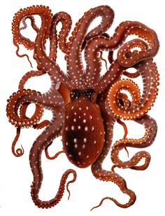 Mediterranean White Spotted octopus drawing free to print Cute Octopus, Octopus Print, Octopus Species, Octopus Drawing, Octopus Illustration, Ernst Haeckel, Picture Boxes, Clip Art, Nautical Art