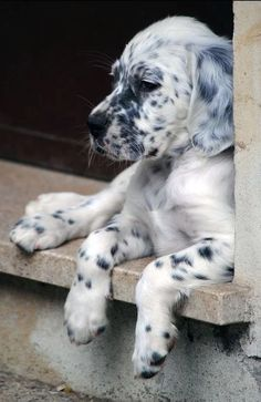 Dog Breeds Little .Dog Breeds Little Cute Baby Animals, Animals And Pets, Funny Animals, Cute Dogs And Puppies, I Love Dogs, Doggies, Beautiful Dogs, Animals Beautiful, English Setter Puppies