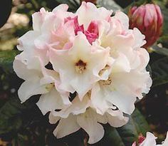 Rhododendron (Opal Luster)