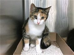 *** TO BE DESTROYED 11/08/17 *** Ittie Bittie kitten sisters KAATERSKILL & HUNTER up for grabs, looking for a home to call their own @MACC. KAATERSKILL is a 5 month old kitten who needs a bit more socialization.