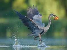 Great Blue Heron (Ardea herodias) | image by Christopher Schlaf