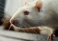 Rat face.