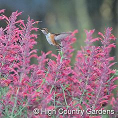 Agastache 'Desert Solstice'  Hybrid Hummingbird Mint