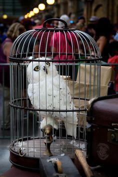 Почтовая сова в мире Гарри Поттера