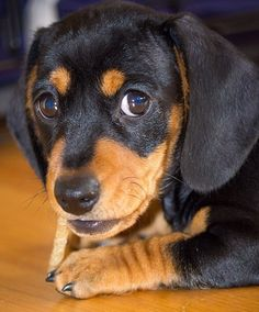 ❤️ Puppy practicing the look. doxie