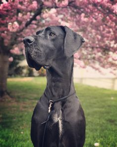 IG: pawsome_adventure Spring is finally here!!! My handsome Great Dane out of Massey Great Danes. Best dog in the world. #greatdane #bigdogs #springisfinallyhere #giantbreed #greatdanes #giantdogs