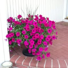 My wave petunias from last year