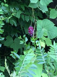 Kudzu Flowers / Invasive Vines