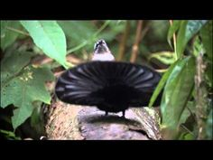 Superb bird of paradise courtship dance - the best bird dance ever? Pretty Birds, Beautiful Birds, Terre Nature, Maluku Islands, Types Of Gems, Bird Gif, Mother Nature, Paradise, Wildlife
