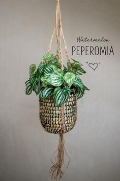 Watermelon Peperomia fake plant with decorative foliage. Also known as Peperomia Argyreia. The trendy Peperomia plants are super cute with their compact bushy form and stunning patterned leaves in str Fake Plants Decor, Faux Plants, Hanging Plants, Plant Decor, Indoor Plants, Peperomia Plant, Foliage Plants, Vintage Stil, Hanging Baskets