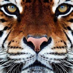 Tigresse.