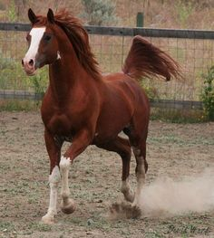 FV Painted Farwa (Ohadi Ben Rabba x FV Painted Lady) 2006 chestnut sabino stallion bred by Fairview Arabian Stud, Canada