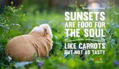 """""""Sunsets are food for the souls (like carrots but not as tasty."""" Wise words from guinea pig Bret T. Michaels of Baby Animals, Funny Animals, Cute Animals, Hamsters As Pets, Rodents, Pig Pics, Guniea Pig, Baby Guinea Pigs, Cute Piggies"""