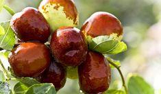 Hünnap meyvesi özellikle Çin'de, uzun yıllardır önemli bir yere sahiptir. Bitkisel ilaç olarak kabul...