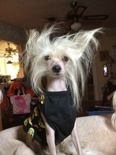 Chacha Chinese crested