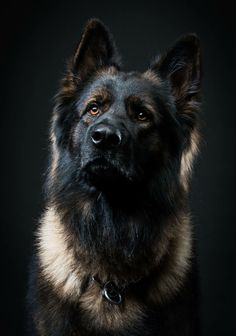 German shepherds are one of the most consistent pet dog breeds to make the American Kennel Club's annual list of the most popular dogs. Cute Dogs And Puppies, Big Dogs, I Love Dogs, Dog Photos, Dog Pictures, German Sheperd Dogs, German Shepherds, Shepherd Dogs, Malinois Dog