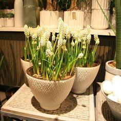 Hvide perlehyacinter gør sig særligt godt indendørs lige nu. Når først temperaturen stiger udendørs, vil de foretrække at blive plantet ud i udendørskrukker. #perlehyacinter #hvid #perler #muscari #whitemuscari #bloomit #løg #foråreterpåvej #forår2016 #shopblomster #odense #fyn #dk #vielskerblomster #instadeco #gaveide