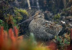 Andean Snipe The Jameson's snipe or Andean snipe (Gallinago jamesoni) is a small, stocky wader. It breeds in the Andes in Bolivia, Colombia, Ecuador, Peru and Venezuela. || Scolopacidae (sandpiper) family || by János