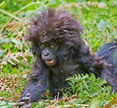 A young mountain gorilla, Love the Hair!