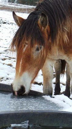 Our sweet Nougat in the early snow of 2015. #November #Nougat #horse #Haflo #Mare #Beauty #love