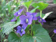 Viola sororia (Common Blue Violet) -Prairie Moon Nursery