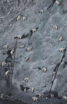 "wineandbubble: "" Mountain Goats (kri-kris), Greece """