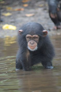 Help provide support for chimpanzees abandoned in Liberia!  On March 5, 2015, more than 60 chimpanzees in Liberia, Africa were abandoned by the New York Blood Center (NYBC), left in serious danger of dehydration and starvation. Thanks to the generous donations of thousands of caring individuals,...