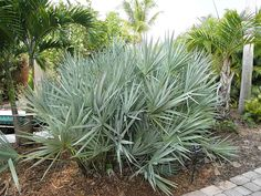 "Serenoa repens; silver variety saw palmetto, H3-6"" W6-8', zone all FL, drought & cold hardy, maintance free, fertilize 1 yr, can plant against house or wall or around another tree."