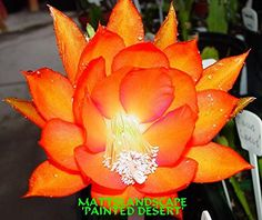 Epiphyllum, PAINTED DESERT, 3 Gallon, Orchid Cactus, Green Healthy Stems, 5+Rooted Plant(s).