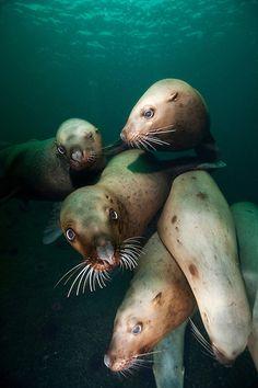 Canada, British Columbia, Hornby Island, Underwater view of Steller's Sea Lions (Eumetopias jubatus) swimming by Paul Souders