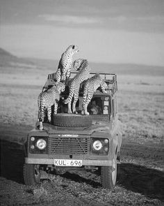 A great shot of an adventure vehicle complete with leopard crew. We love how these gorgeous animals drape themselves inquisitively across the truck.