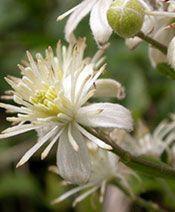 When to prune evergreen clematis. Evergreen Clematis, Gardening, Flowers, Plants, Garten, Florals, Lawn And Garden, Planters, Garden