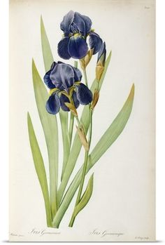 Poster Print Wall Art Print entitled Iris Germanica, from Les Liliacees, 1805, None
