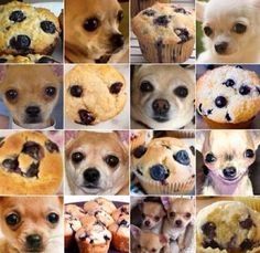 Chihuahua or a blueberry muffin?