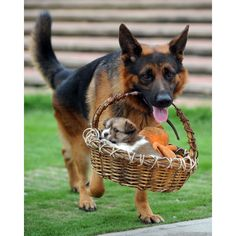 A German Shepherd dog called Xiao Long carries a one-month-old puppy out for a walk in a basket in the southern Chinese town of Ronggui