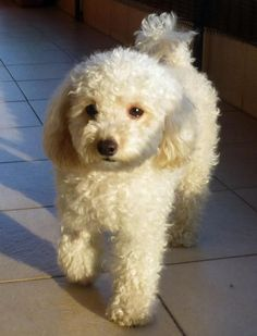 Poodle/Bichon Mix haircut style---- aww makes me want ...