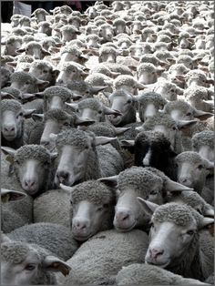 One sheep, two sheep, three sheep...