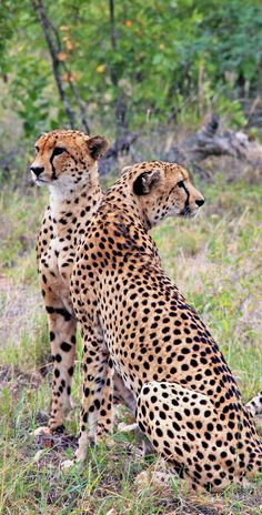 Gorgeous young cheetah males at Kruger National Park in South Africa © Sabrina Iovino via @Just1WayTicket
