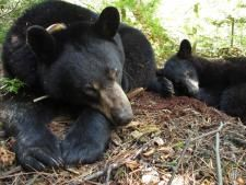 Lily and Faith, www.bearstudy.org. They are amazing and are teaching the world to live with and love the black bear.