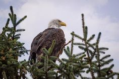 A majestic Bald Eagle perched in a tree top. Nature and Wildlife art prints for your home or office decor by Keith Boone. Plant Art, Tree Tops, Wildlife Art, Natural World, Amazing Nature, Great Artists, Art Images, Office Decor, Canvas Art