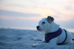 One of my girls enjoying the beach.  #JaxBeach #Jacksonville #Florida #dogs #jackrussell